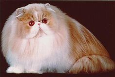Gorbeh - Persian Cat - Persian Cat Gallery
