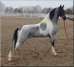 TWH tobiano roan, I wish I knew the name and bloodlines of this horse. Gorgeous!