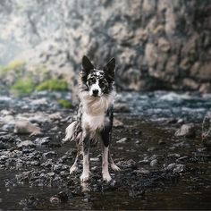 dogs photography Such a stunning Border Collie! Collie Puppies, Collie Dog, Beautiful Dogs, Animals Beautiful, West Highland Terrier, Michel De Montaigne, Yorkshire Terrier Puppies, Cute Dogs And Puppies, Doggies
