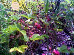 Полуница - 1 розетка 3,50 грн