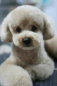 Cute Animals - The poodle is one of the most popular breeds in Japan. The teddy bear clip is the main poodle hairstyle. Dog Grooming Styles, Poodle Grooming, Pet Grooming, Japanese Dog Grooming, Japanese Dogs, Japanese Style, Cortes Poodle, Cute Puppies, Cute Dogs