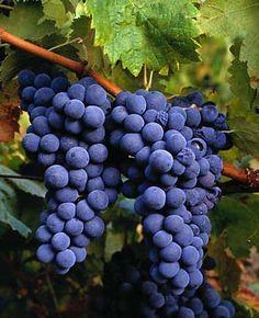 """UVA CONCORDIA: un ampio studio condotto nel Regno Unito su diversi succhi ha dimostrato che """"il succo d'uva viola contiene il maggior numero di singoli composti fenolici e anche la più alta concentrazione di fenoli totali. I componenti principali sono stati flavan-3-oli, antociani, e idrossicinnamati, che rappresentano il 93% del contenuto fenolico totale. """"I fenoli sono composti organici che trasmettono attività anti-ossidante in una verdura o nella frutta."""