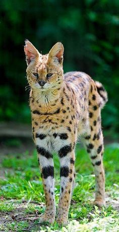 Serval Katze Kaufen Savannah