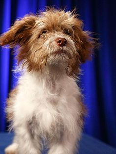 """Contestants of Puppy Bowl...  TATTOO  He's a 14-week-old miniature Aussie mix from Friends of Pep Border Collie Rescue who """"sings in a barbershop quartet."""" Or is it a bark-ershop quartet?   Status: Adopted!"""