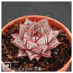 Echeveria purpusorum white form