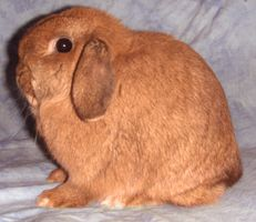 Holland Lop Color Guide