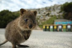 quokka on rottnest island Pretty Animals, Cute Funny Animals, Funny Cute, Animals Beautiful, Happy Animals, Animals And Pets, Quokka, Australian Animals, Fauna