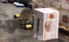 Der Waschbär in folgendem Video hatte wohl Durst und ist aus diesem Grund letztens bei einem Getränkehändler in New York eingestiegen. Dabei ist er erwischt worden, wie er sich mit Bier ordentlich zugedichtet hat. Später wurde er glücklicherweise gefangen genommen, wir alle wissen, was passiert, wenn besoffene Waschbären in freier Natur unterwegs sind Betrunkener Waschbär was first seen on Dravens Tales from the Crypt.