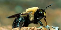 Common Carpenter bees look like large bumble bees with a bare abdomen, lacking the yellow hairs found on bumble bees. This type of stinging bee gets its common name from its habit of boring into wood like a carpenter.