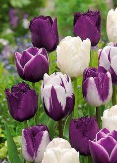 """Tulp Purple Prince....we zijn er gek op en wie niet? Of zou de ballade van Prince met zijn """" Purple rain"""" die telers op dit idee gebracht hebben?"""