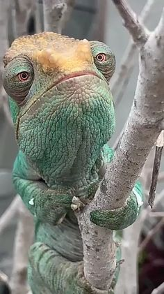 animals raros Now sure who he reminds me of Cute Reptiles, Les Reptiles, Reptiles And Amphibians, Cute Funny Animals, Funny Animal Pictures, Cute Baby Animals, Nature Animals, Animals And Pets, Beautiful Creatures