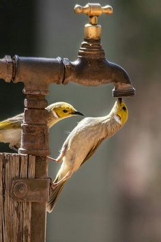 Birds trying to drink out of the spigot Pretty Birds, Beautiful Birds, Animals Beautiful, Cute Animals, Beautiful Scenery, Wild Animals, All Birds, Love Birds, Owl Eyes