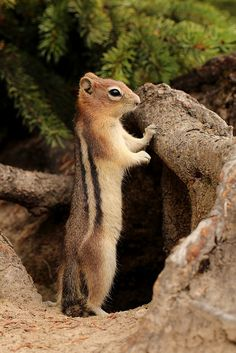 Golden-mantled Ground Squirrel - Because they have a stripe on the flank, they are sometimes mistaken for chipmunks, but the stripe does not continue onto the cheek