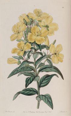 Belles fleurs - Belles fleurs 032 Oenothera fruticosa indica - Indian Oenothera - Gravures, illustrations, dessins, images