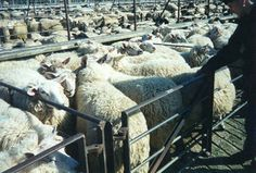 wool014 by Euthanasia brigade, via Flickr Factory Farming, Why Vegan, Two Best Friends, Creatures, Horses, Nature, Animals, Naturaleza, Animales