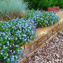 Blue Perennials: Lithodora -- See how these pretty flowers make for beautiful ground cover!