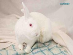 ROXY - URGENT - CITY OF LOS ANGELES SOUTH LA ANIMAL SHELTER in Los Angeles, CA - Adult Spayed Female American Rabbit