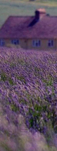 #Lavender field in #Provence #France                                                                                                                                                                                 More