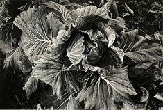 Daido Moriyama, Cabbage, 1989