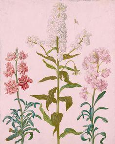 Attributed to Johanna Helena Herolt | b. 1668 | Studies of Dame's Violet (Hesperis matronalis plena candida) and Double Stocks (Matthiola incana plena) | The Morgan Library & Museum