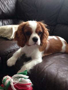 cavaliers are the cutest!