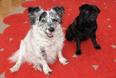 Die Hunde Pluto und Sally am IFGE Wien & Burgenland unterstützen den Beratungsprozess auf beruhigende und tröstende Weise und vermitteln das Gefühl von Vertrautheit indem sie helfen, gerade bei festgefahren zu scheinenden Mustern, schnell an neue Lösungswege heranführen 😊 Animals, Dog Anxiety, Counseling Psychology, Pug, Animales, Animaux, Animal, Animais