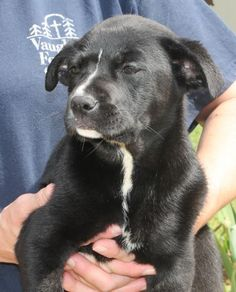 Meet Thumbelina 22143, a Petfinder adoptable Labrador Retriever Dog | Prattville, AL | Thumbelina is an 8-week-old female Lab mix. She is black with white markings. This beautiful puppy...