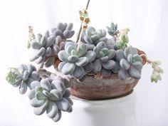 Cuidando e propagando as suculentas - PlantaSonya - O seu blog sobre cultivo de plantas e flores