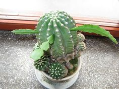 Grafting is placing one plant onto another so the inserted plant grows off of the other. This is commonly used with fruit trees and cacti (especially the colored...