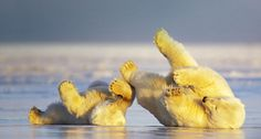images mother bears | Bing Images - Polar Bear Mother - 在冰上玩耍的北极熊 ...