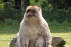 Berberaap (Macaca sylvanus)