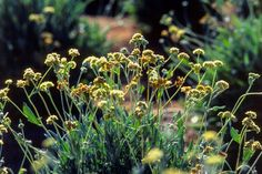 Guayule plants - Getty Images