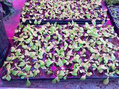 #salad #salat #LED #pflanzen #lampe #licht #beleuchtung #gartenbau #gemüsebau #gärtnerei #horticulture #greenhouse #lighting Lighting, Horticulture, Light Fixtures, Lights, Lightning