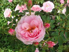 Rosa BAR 7660 dal Roseto di Monza