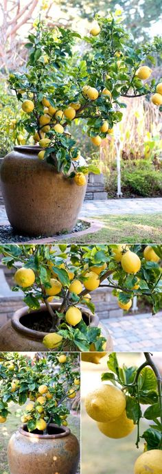 Grow A Lemon Tree In A Container