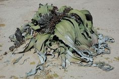 Tree Tumbo -- has leaves that capture moisture from sea fog and long taproots that search out any underground water.  Welwitschia mirabilis is well-adapted to the harsh arid environment of the Namib Desert.
