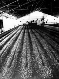 Fernando Poo (Guinea Ecuatorial), 13-12-1963.- Granos de cacao extraidos del fruto durante el proceso de secado en la finca de explotación guineana. EFElafototeca.com Image : efesptwo040764