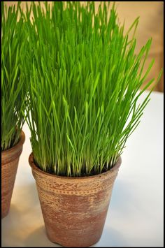 Growing wheatgrass indoors is simple if you know how to care for it. A grass houseplant is an excellent way to add a bit of color to your home during the winter months or just to make centerpieces. http://en.wikipedia.org/wiki/Wheatgrass Wheatgrass_Centerpiece_Easter_CamilleStyles