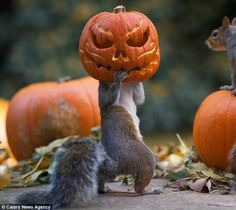 Boo! An inquisitive squirrel stuck its head into a carved pumpkin, creating this memorable image