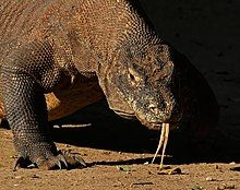 Komodo dragon - Wikipedia