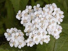 Easy to grow from seed. Likes full sun or shade. 36 inch tall plants produce a profusion of gorgeous, showy white flowers. Great for both fresh and dried arrangements. Delightful, powerful scent. Can