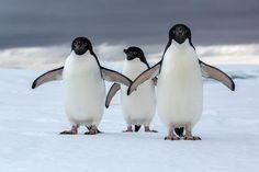 ギャラリー:南極に暮らすアデリーペンギン 写真7点 | ナショナルジオグラフィック日本版サイト