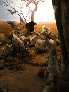 Hyena-jackal-vulture group at the Serengeti Plains of Tanzania (diorama) display, American Museum of Natural History | Flickr - Photo Sharing!