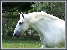 Daniel, Percheron Draft Horse Breeds, Draft Horses, Percheron Horses, Clydesdale, Suffolk Punch, Four Legged, Pony, Passion, Buttons