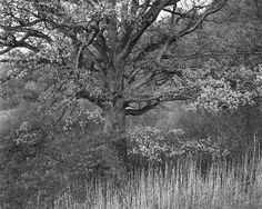 george tice oak trees photo - Google Search