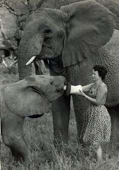 For over 30 years, Dame Daphne Sheldrick has pioneered the hand-raising of orphaned elephants. Here she is with Eleanor, now a fully wild orphan who was rescued in 1960. Read more about Eleanor at http://www.sheldrickwildlifetrust.org/asp/orphan_profile.asp?N=21