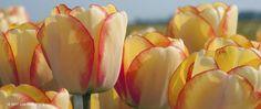 Darwin Hybrid Early - Beauty of Spring 6300 bulbs 10-11