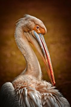 Pelican ~ By Detlef Knapp A wonderful bird is the Pelican. His beak can hold more than his belly can. He can hold in his beak Enough food for a week! But I'll be darned if I know how the hellican?