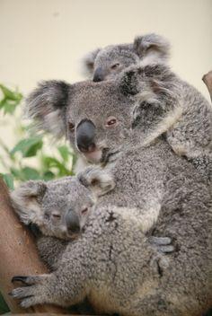 The only twin koala in the world at Guangzhou Xiangjiang Safari Park.