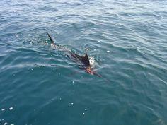 Atlantic Blue Marlin (Makaira nigricans) {!--대서양녹새치--> - Wiki; DISPLAY FULL IMAGE.